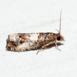 3208 - Doubleday's Notocelia - Notocelia rosaecolana