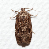 3638 - Spruce Budworm Moth - Choristoneura fumiferana