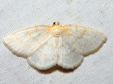 6815 - Gueneria similaria (male)