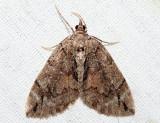 7326 - Renounced Hydriomena - Hydriomena renunciata (female)