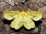 6743 - Crocus Geometer - Xanthotype sospeta (male)
