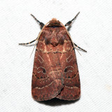 10563 – Ruddy Quaker Moth – Protorthodes oviduca