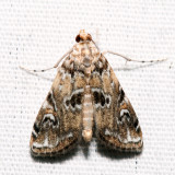 4751 - Waterlily Borer - Elophila gyralis