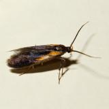 1059 - Newman's Mathildana Moth - Mathildana newmanella
