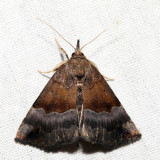 8447 – Gray-edged Hypena – Hypena madefactalis