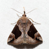 8441 – Flowing-line Hypena – Hypena manalis
