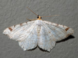 6341 – Bicolored Angle – Macaria bicolorata