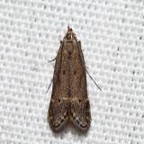 Monochroa sp.