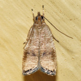 0956 – Black-fringed Leaftier – Psilocorsis cryptolechiella