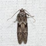 1162 – Acorn Moth – Blastobasis glandulella