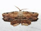 6720 - Common Lytrosis - Lytrosis unitaria