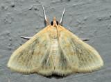 4962 – Hahncappsia marculenta