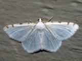 6273 - Lesser Maple Spanworm - Speranza pustularia