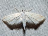 4764 – Watermilfoil Leafcutter Moth – Parapoynx allionealis