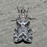 4716 – Double-striped Scoparia – Scoparia biplagialis