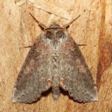 6237 – Tufted Thyatirid – Pseudothyatira cymatophoroides
