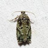 3235 – Maple Bud Borer – Proteoteras moffatiana