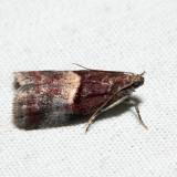 5672 – Cordovan Pyralid – Acrobasis exsulella