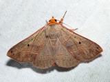 8587 - Red-Lined Panapoda - Panopoda rufimargo