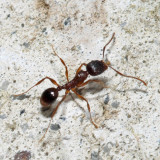 Pavement Ant - Tetramorium species-e