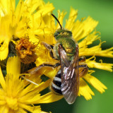 Bicolored Agapostemon - Agapostemon virescens