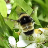 Yellow-banded Bumble Bee - Bombus terricola