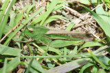 Northern Green Striped Grasshopper - Chortophaga viridifasciata