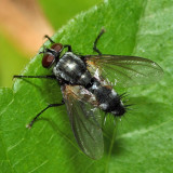 Tachinid Fly - Uramya sp.