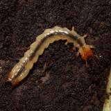 Dendroides canadensis (larva)