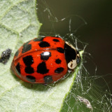 Multicolored Asian Lady Beetle - Harmonia axyridis