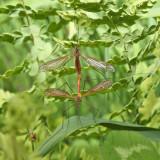 Tipula paterifera