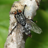 Flesh Fly - Sarcophaga sp.