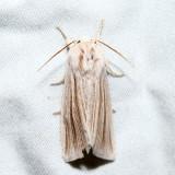9280 – Henry's Marsh Moth – Simyra insularis