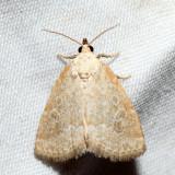 9048 – Pale Glyph – Protodeltote albidula