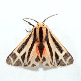 8169 – Harnessed Tiger Moth – Apantesis phalerata
