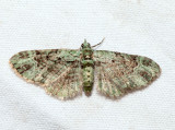 7625 - Green Pug - Pasiphila rectangulata