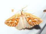 6864 - Northern Pine Looper - Caripeta piniata