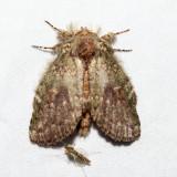 7995 – Wavy-Lined Heterocampa – Heterocampa biundata