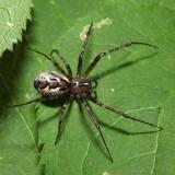 Hammock Spider - Pityohyphantes costatus