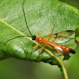 Acrotaphus wiltii