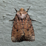 10532.1 – Southern Scurfy Quaker – Homorthodes lindseyi