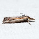 5393 – Diminutive Grass-veneer – Raphiptera argillaceellus
