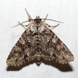 10276 – Cloudy Arches Moth – Polia imbrifera