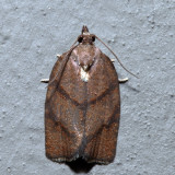 3622 - Hickory Leafroller - Argyrotaenia juglandana