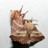 7701 - Eastern Tent Caterpillar Moth - Malacosoma americana (mating)