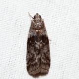 5796 – Locust Leafroller Moth – Sciota subcaesiella