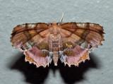 6835 – Scallop Moth – Cepphis armataria (male)