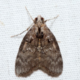 5605 – Aspen Webworm – Pococera aplastella