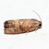 3494 - Filbertworm Moth - Cydia latiferreana