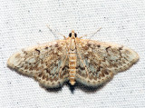 4954 - Quebec Phlyctaenia - Phlyctaenia quebecensis